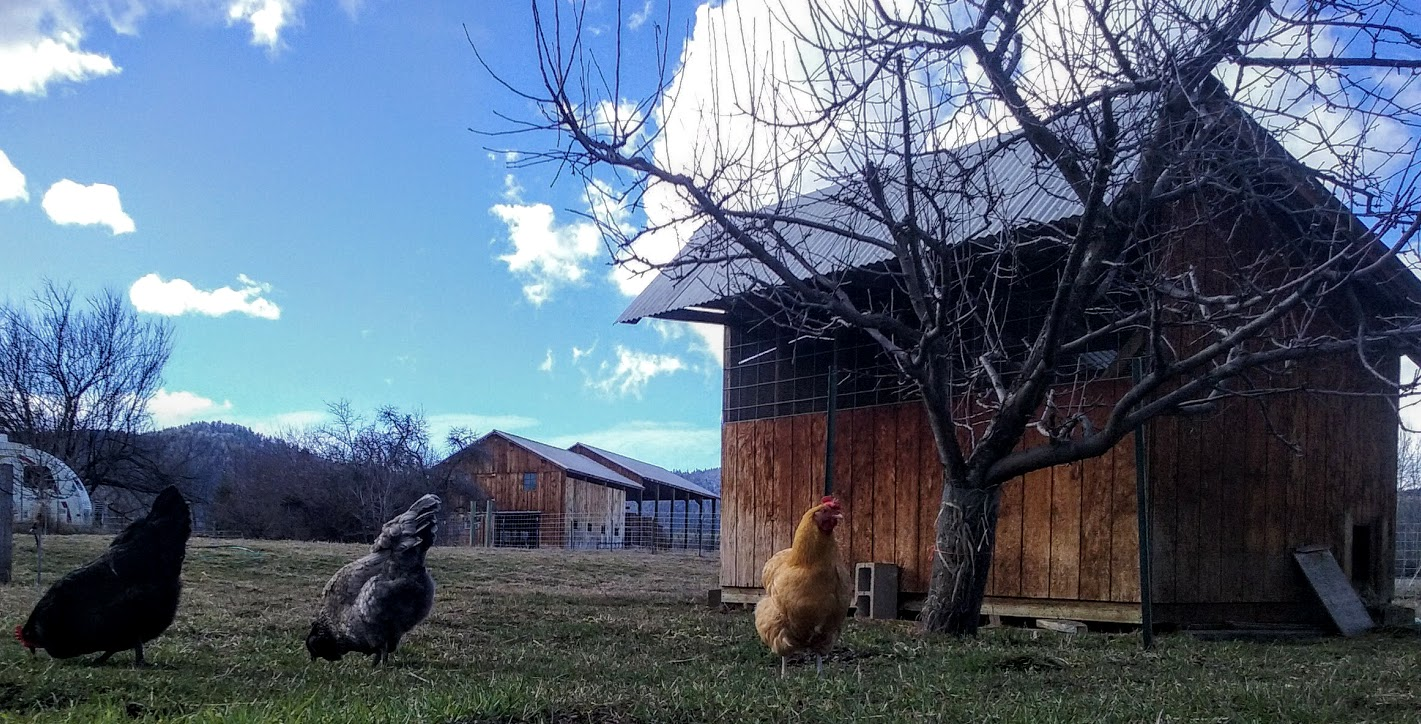Chickens on grass with blue sky and clouds. -- by Liz McLellan