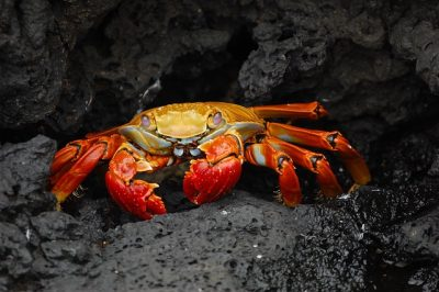 Crab Under the Sea
